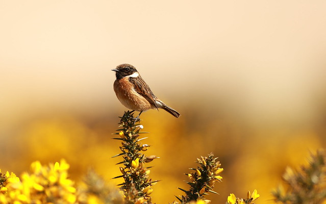 Stonechat, Canon EOS 7D MARK II, Canon EF 500mm f/4L IS