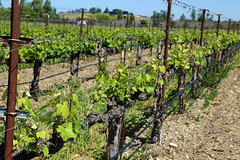 Rideau Vineyard, Santa Ynez IMG_5362