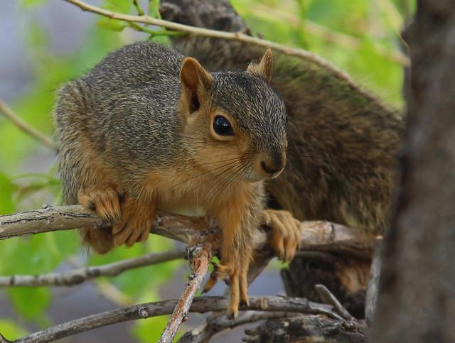 Baby Fox Squirrel, Canon EOS REBEL T5I, Sigma 70-200mm f/2.8 EX DG APO OS HSM