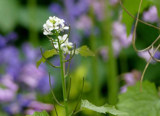 Knoblauchsrauke***garlic mustard***Alliaria petiolata