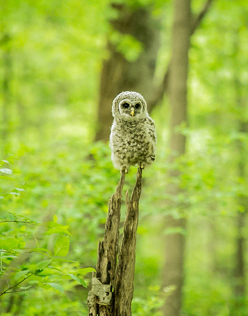 Baby Barred Owl.......