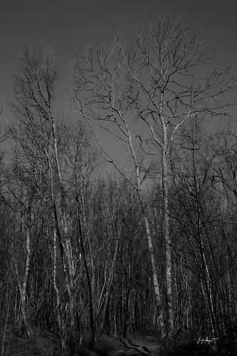 Sous bois, cueillette des jonquilles dans le Revermont  - Jura / D6_10531