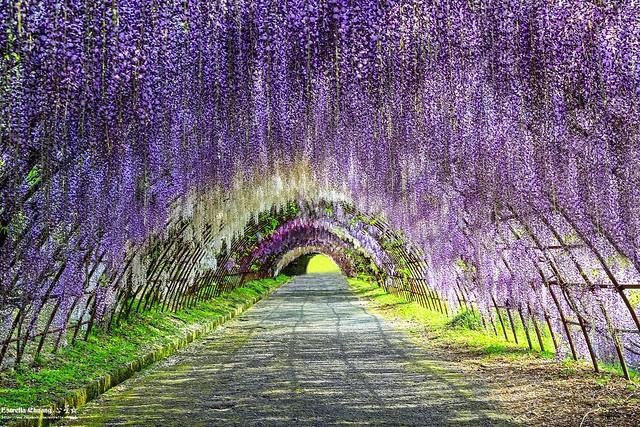 Kawachi Fujien~Kyushu Hanoi Fuji Garden,九州河內藤園