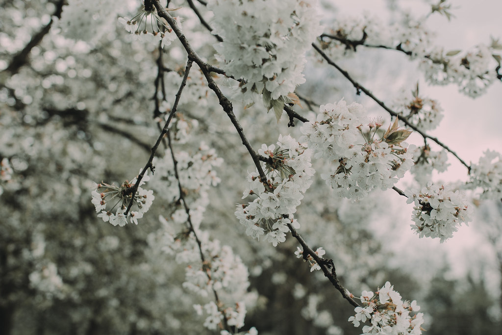 Blossoms like a gentle snow