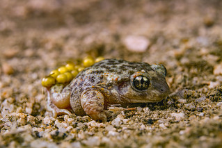 Alytes cisternasii (Iberian midwife toad)
