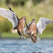 Dueling Dowitchers by Melissa James Photography