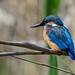 Eisvogel, Kingfisher by t_neuber