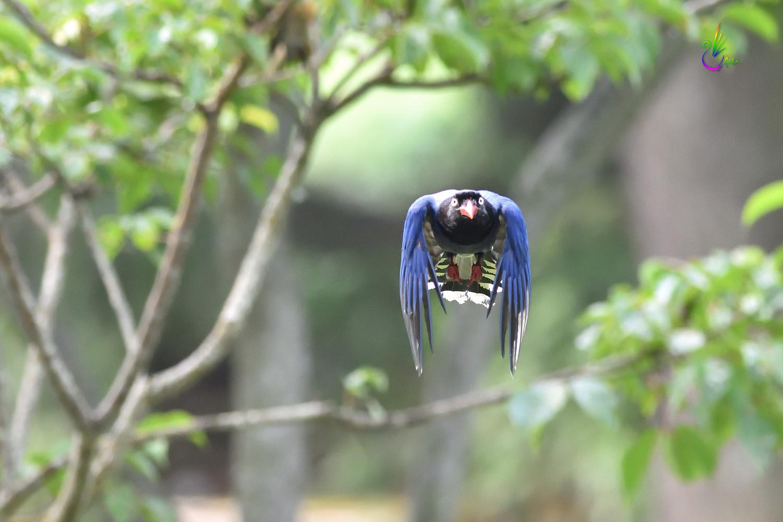 Formosan_Blue_Magpie_6023