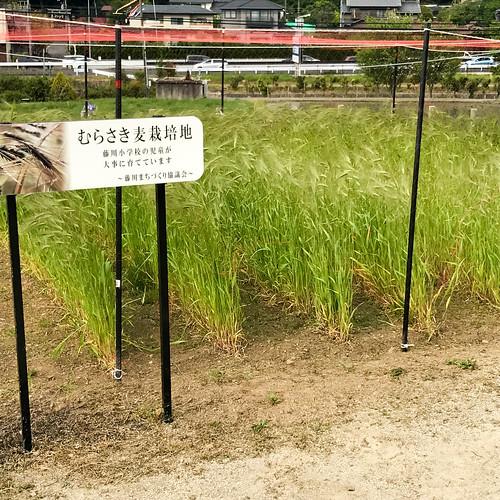 むらさき麦栽培地