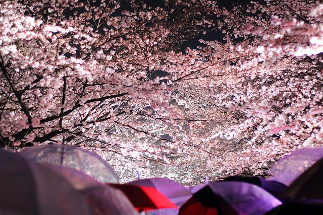 yozakura-flickr01