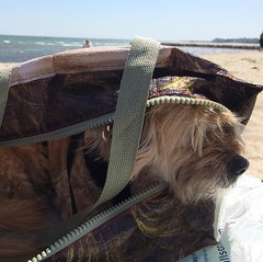 Ginger has had enough. #notabeachcomber, #capecodgetaway