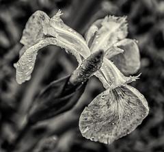 Iris monochrome