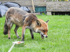 3rd  may 2017 Foxes 024
