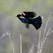 Red-Winged Blackbird by Watchdog Images