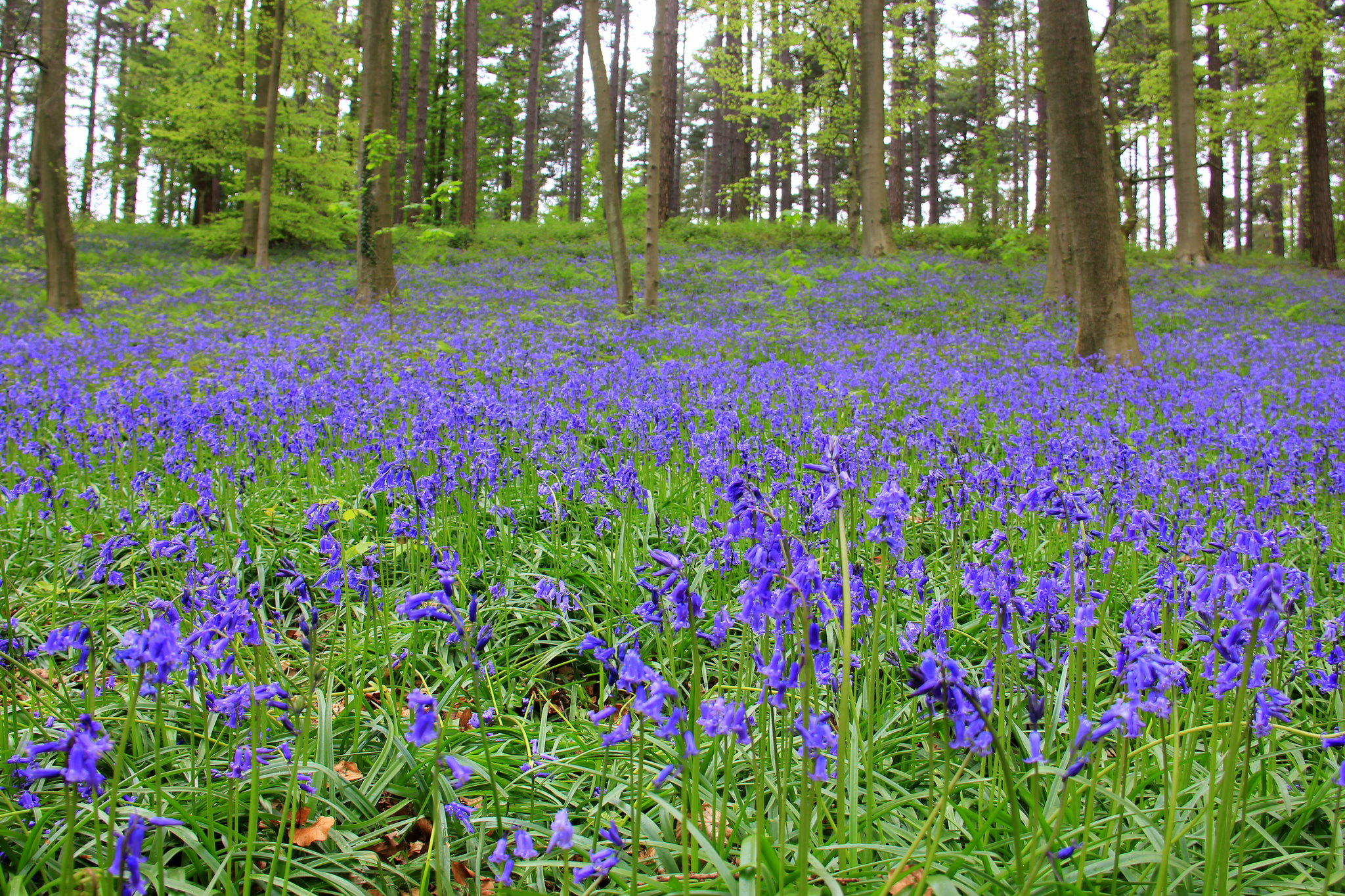 hallerbos in spring is a sea of blue flowers