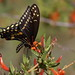 Black Swallowtail by andrewj1882