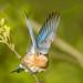 Eastern blue bird - Glenhurst Meadows, NJ