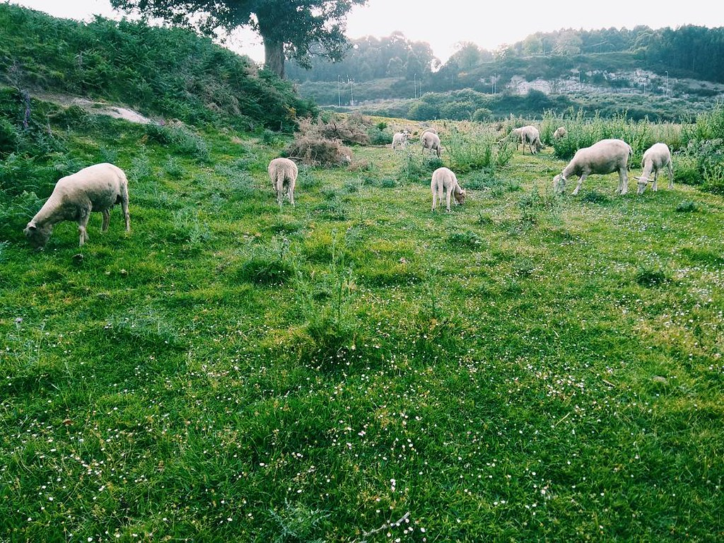 La Coruña más rural. #urbannature #sheeps #vsco #photography #phonephoto #ovellas