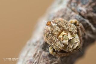 Periscope orb-weaver (Araneidae) - DSC_4830