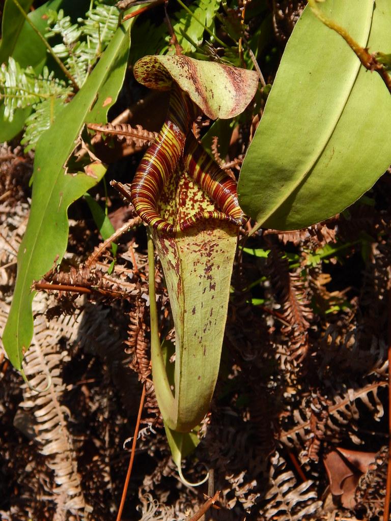 Nepenthes rafflesiana (Raffles' pitcher plant); upper pitcher; Sentosa Island, Singapore