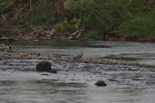 Heron on the river Usk (RAY TYLER IMAGES)