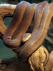 Brown Snake Curled on a Log
