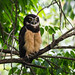 Spectacled Owl (Ian Talboys)
