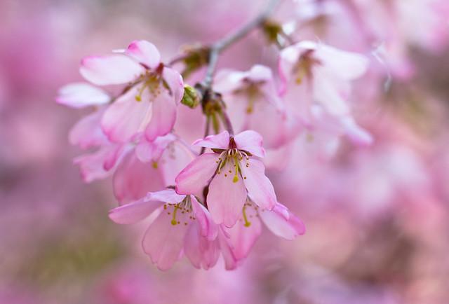 Sakura Fantasia