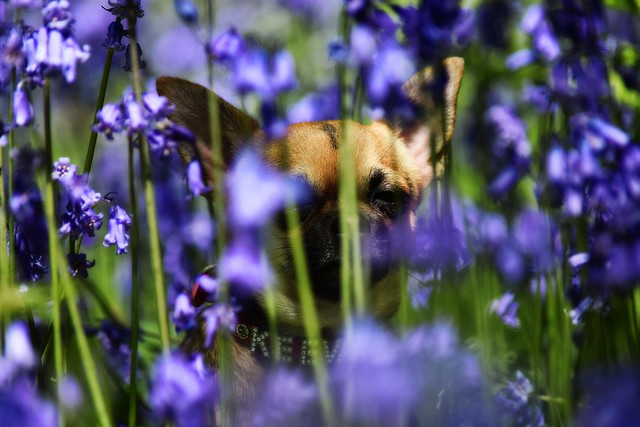 little in the bluebells