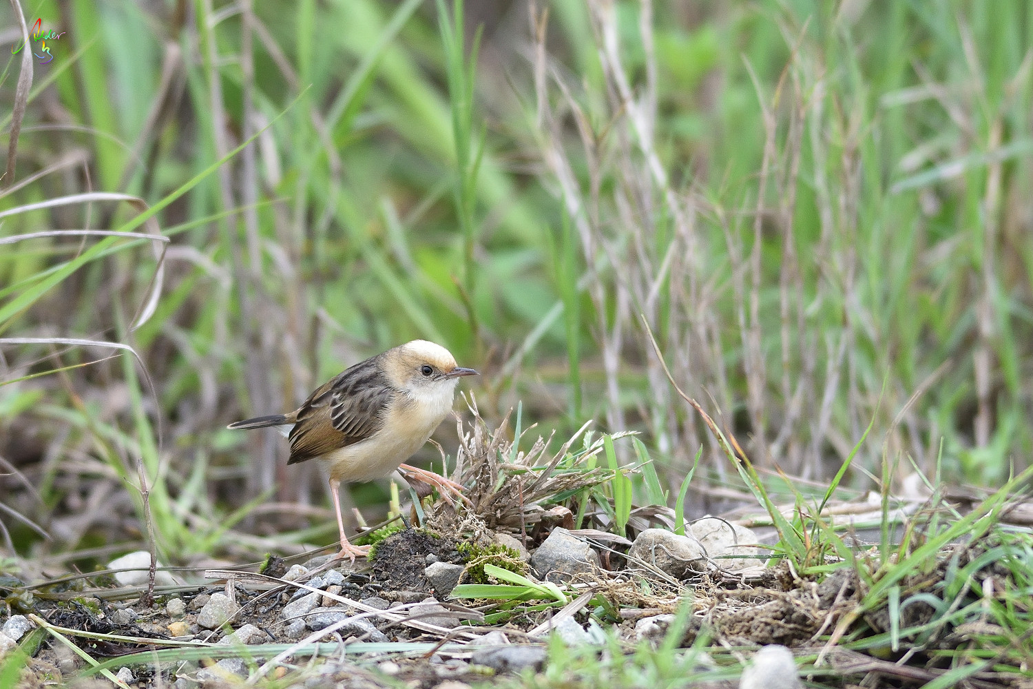 Golden-headed_Cisticola_2732