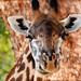 Giraffe (Nick Scarle)