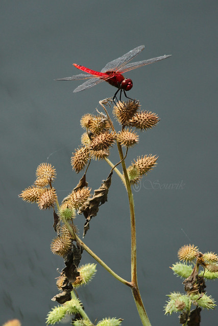 IMG_9099_Dragon Fly, Canon EOS 600D, Canon EF-S 55-250mm f/4-5.6 IS II