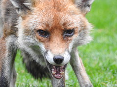 3rd  may 2017 Foxes 030