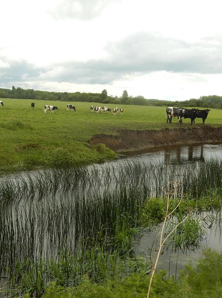 Cows, stream, reeds Thame Circular