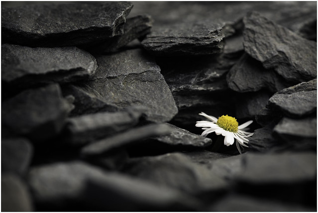 Macro Mondays - Chip(s) - Slate 'chips' and daisy (In Explore on 23 May 2017)