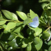 Holly Blue butterfly by catb -