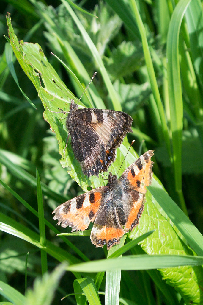 Small Tortoiseshells Princes Risborough to Great Missenden
