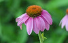Coneflower with Bonus Bug