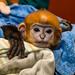 Endangered François' Langur Baby
