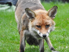 3rd  may 2017 Foxes 034