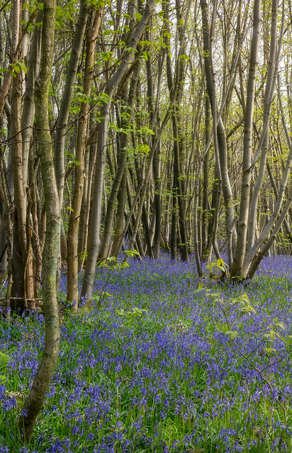Bluebells at King's Wood