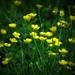 Buttercups by Zsaj