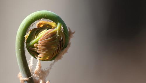 arboretumellerhoop nikond500 fern springtime unfolding nature