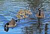 Canada Goose Family 17-0514-3112 by digitalmarbles