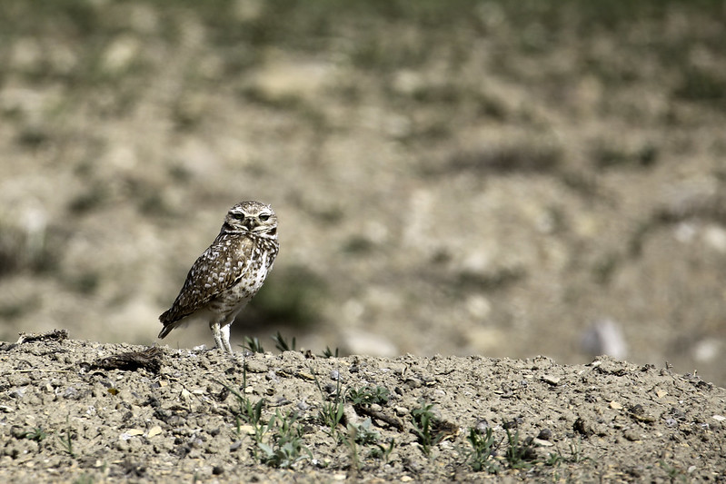 2017 5 14 - Coyote Run Burrowing Owl - 9S3A3344