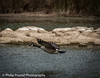Canada Goose in Flight by Philip Pound Photography