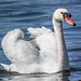 Mute Swan - Photo (c) Bengt Nyman, some rights reserved (CC BY)