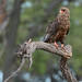 Juvenile Battleur Eagle (Eric Browett)