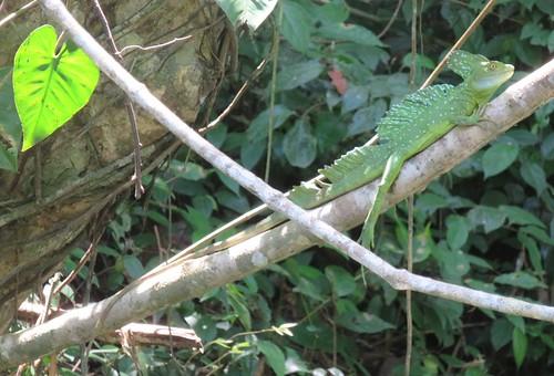 costarica jungle canal boat tour limon costa rica basilisk jesus christ lizard
