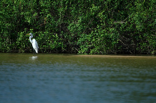 Great egret on the banks of the Bita river